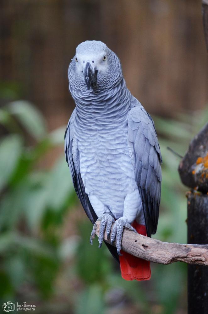 African Grey Parrot by Ivan Tiamzon