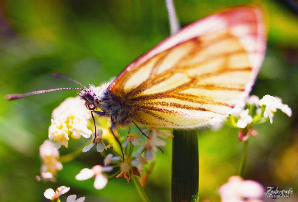 Photo in Macro #butterfly #schmetterling #nature #makro #macro #insect #spring #beauty #close up #nahaufnahme