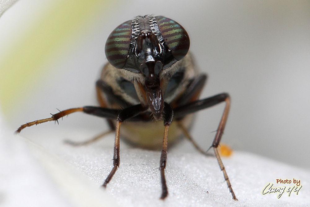 Photo in Macro #canon eos 550d #canon ef 100mm f2.8l is usm #cyy4993 #口鼻蝇 #calliphoridae #blowfly