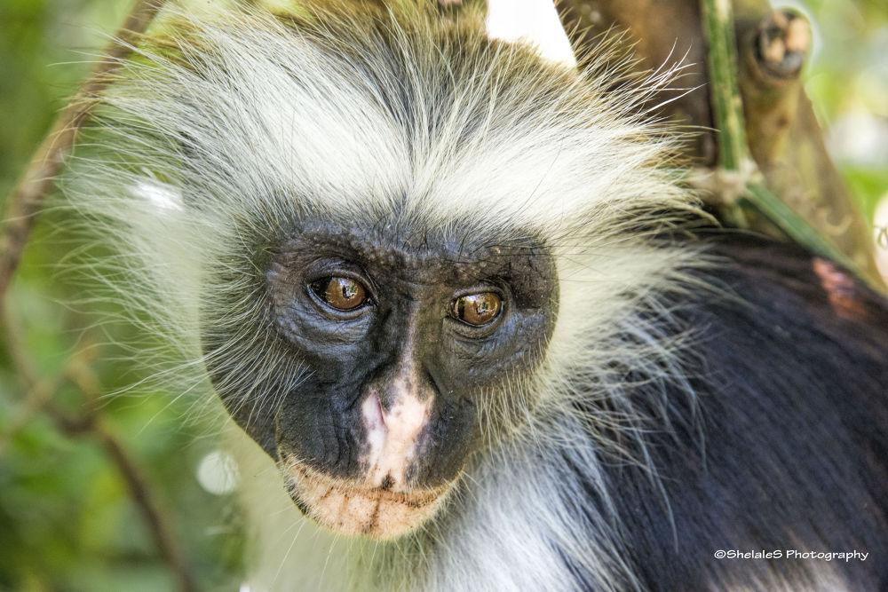 Red monkey in Jambiani forest Zanzibar by ShelaleS