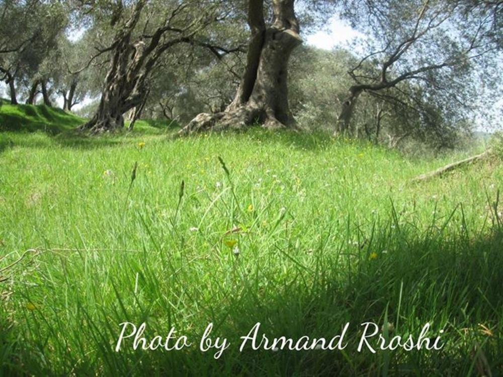 Olives by Armand Rroshi