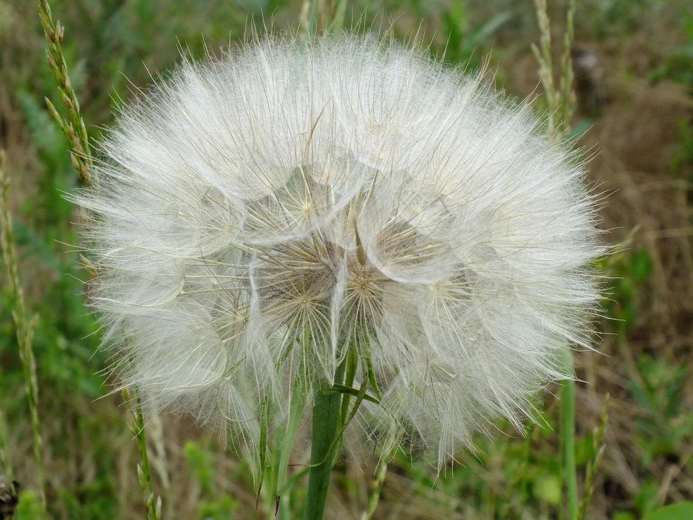 Large dandelion by Javor