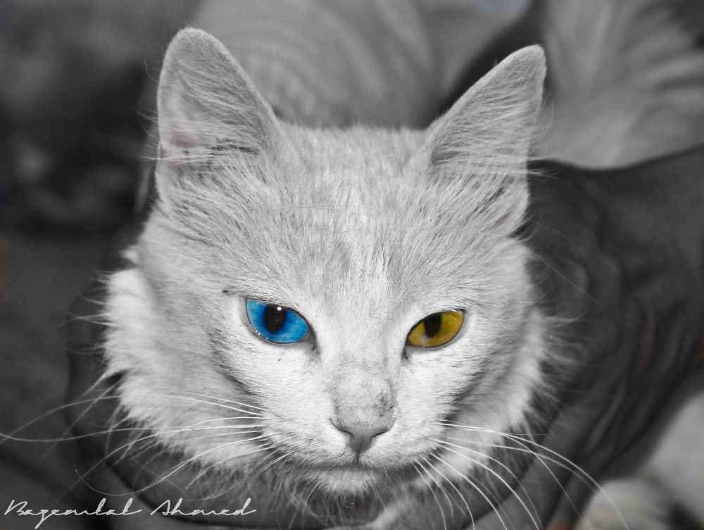 Cat 1 by bazemlalahmed