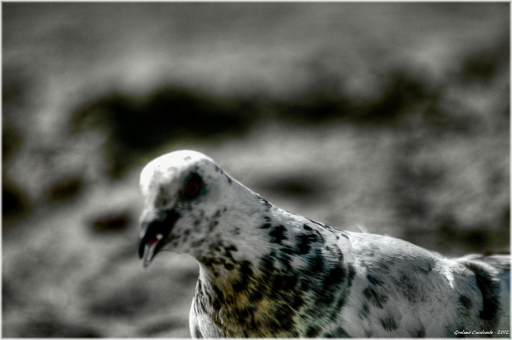 colomba bianca by GiroPhoto - Girolamo Cavalcante