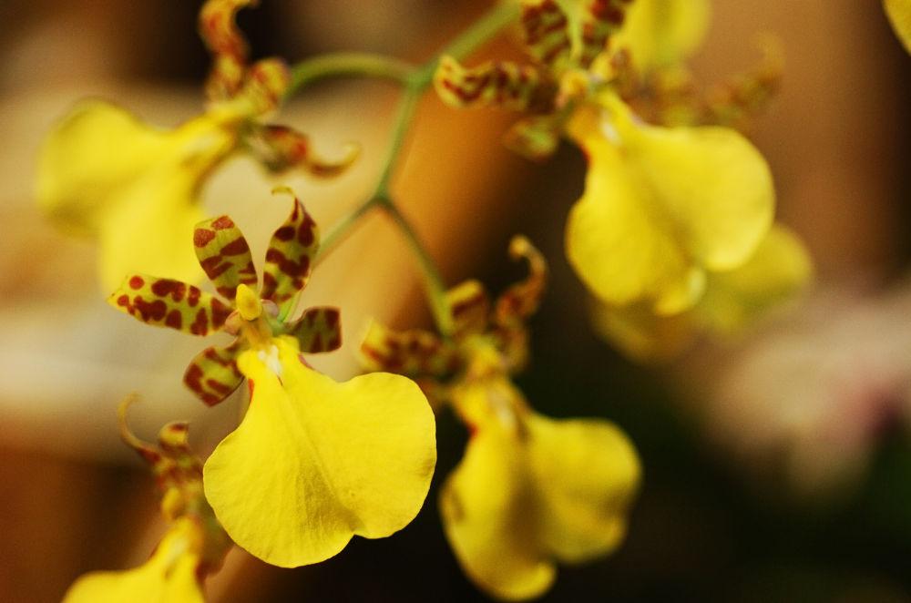 Orchid. Oncidium by photosdan
