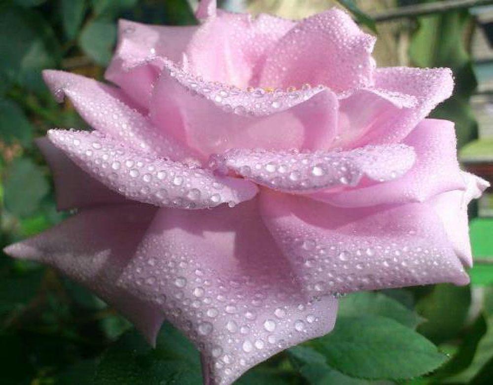 rose by rusliadibogor
