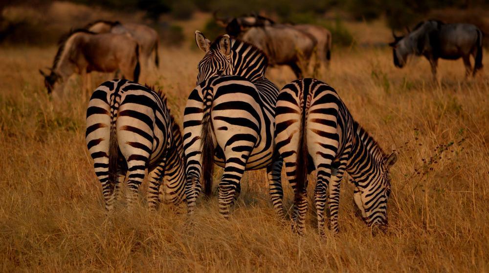 Photo in Animal #zebra #animals #savanna #grass #sunset hour #golden #nikon #nikon d7100 #tanzania #tarangire national park