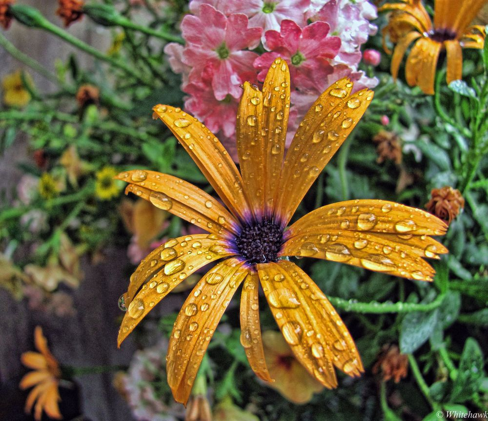 Raindrops on a African daisy by whitehawk