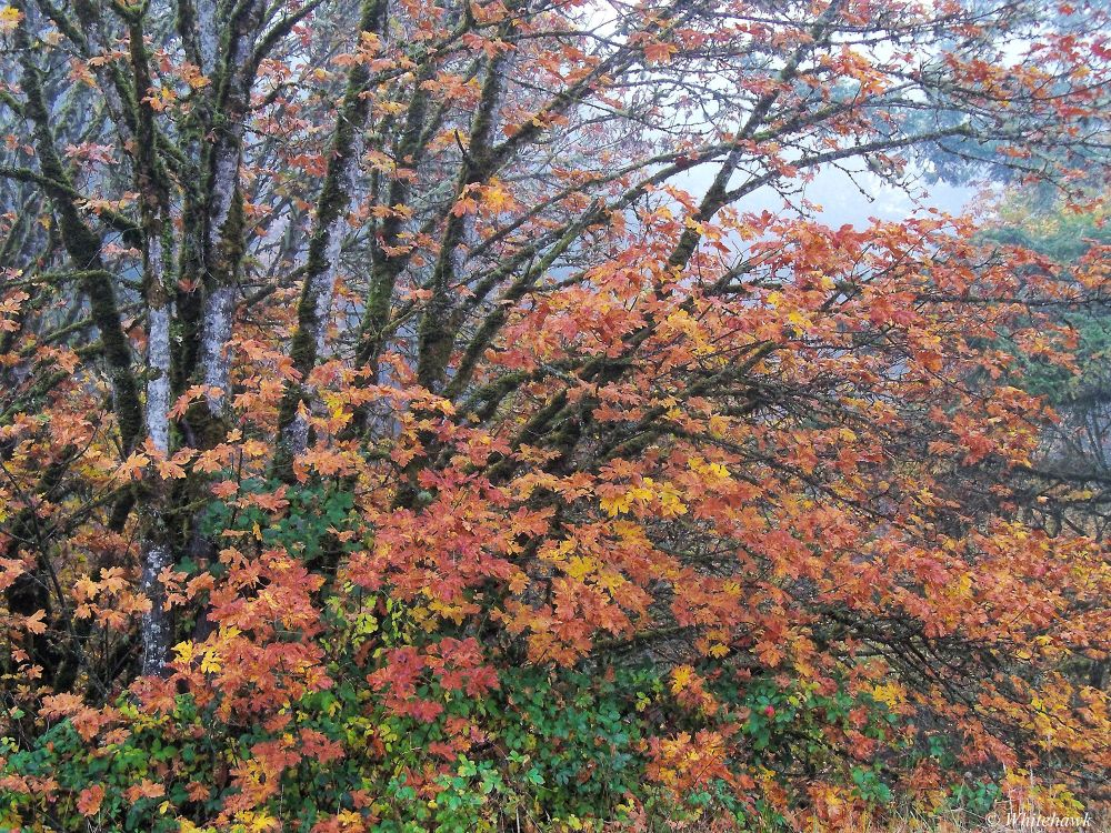 Fall color in the leaves by whitehawk