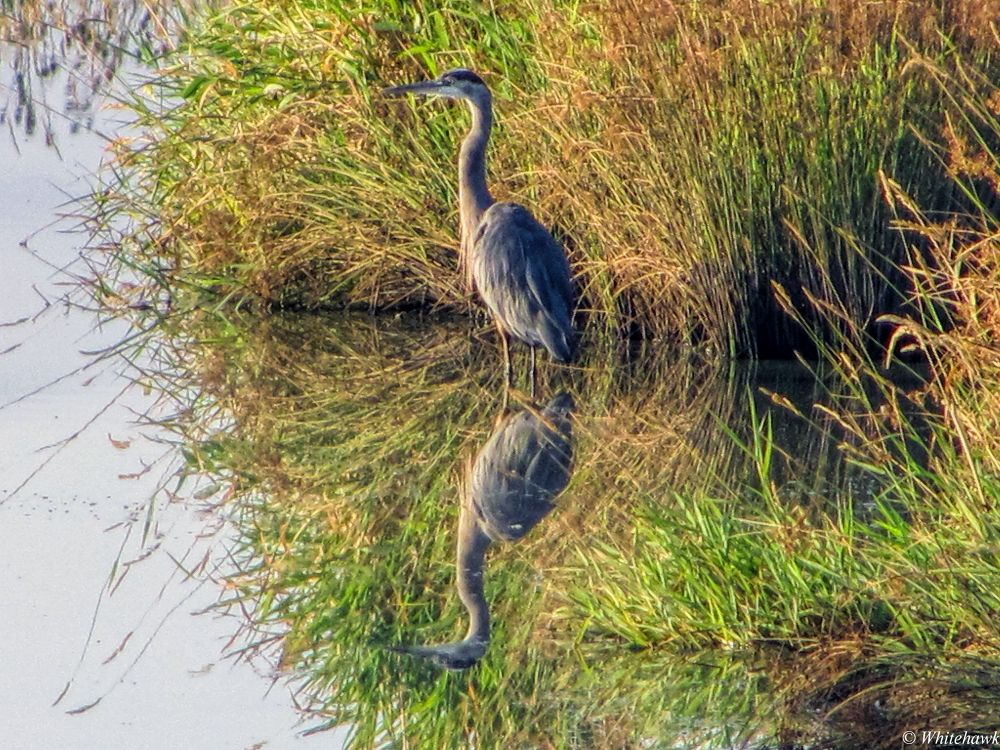 Blue Heron in the amazon slough by whitehawk