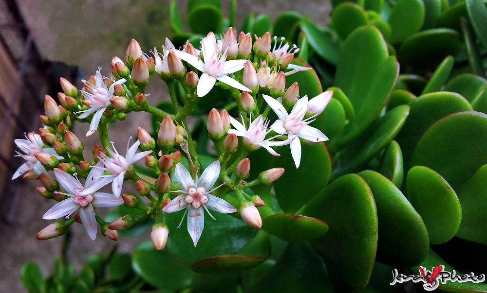 Flor de Crassula Ovata, comúnmente llamada Árbol de Jade... by jamesroar
