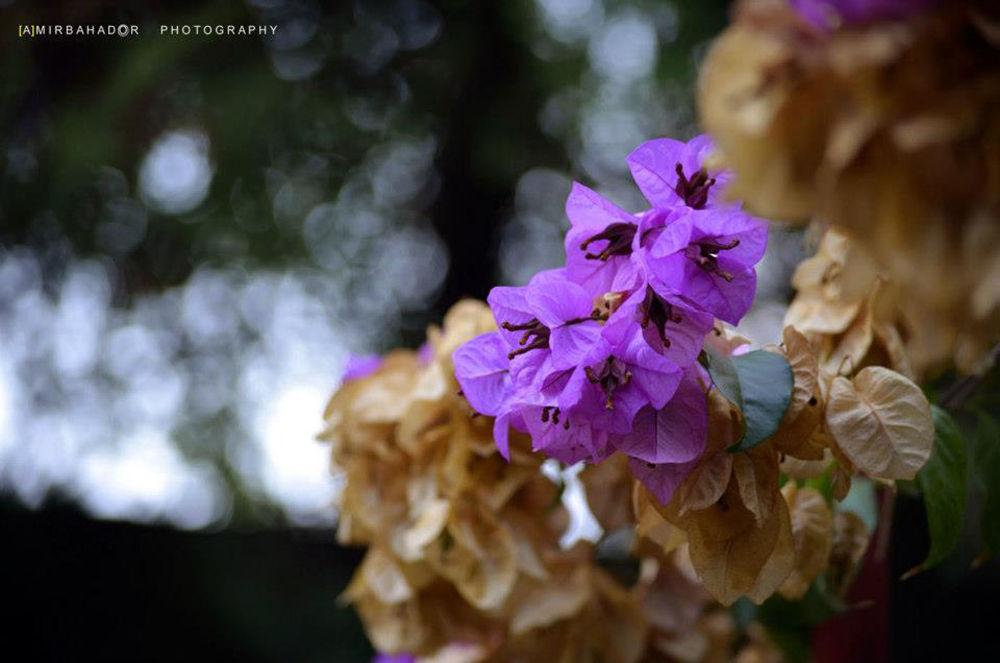Bougainvillea-2 by amirbahador