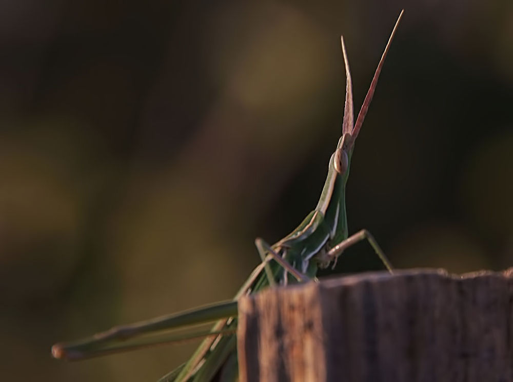 Green Grasshopper by yolyordam