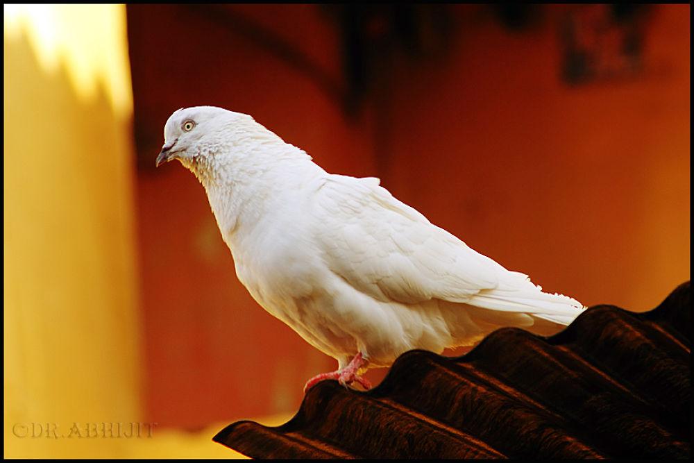 Dove by abhitrups2002