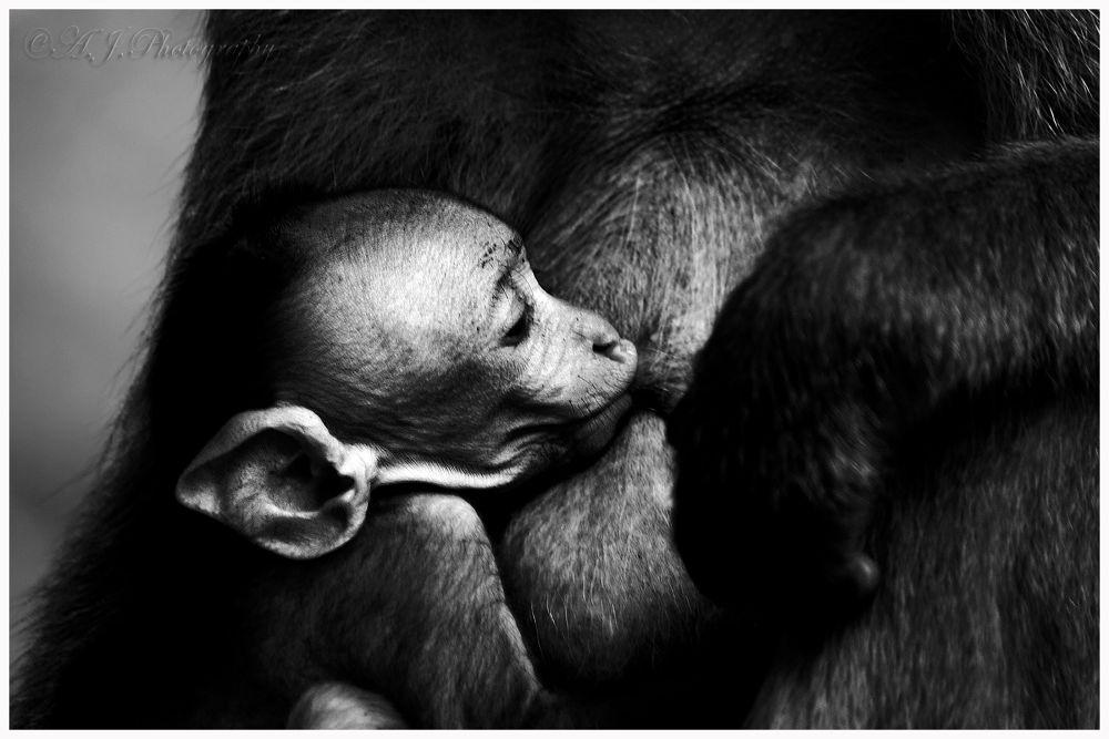 Photo in Random #nature #wild life #emotions #canon #primates #love #mother #child #monkey