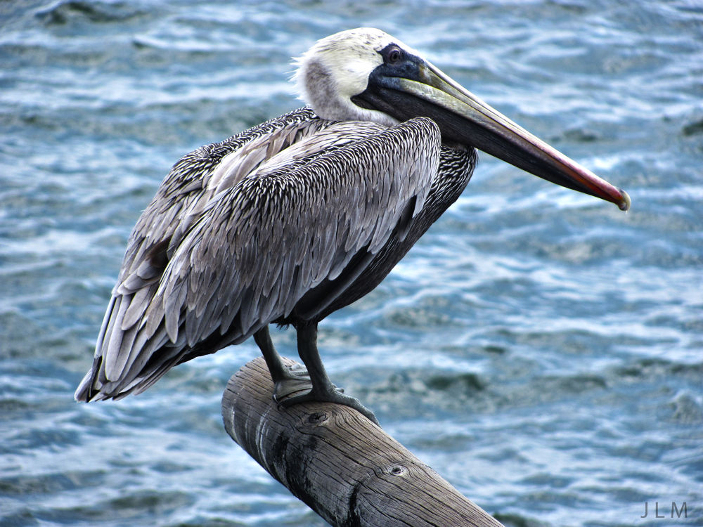 pelican 2 by Jose Luis Moreno R.