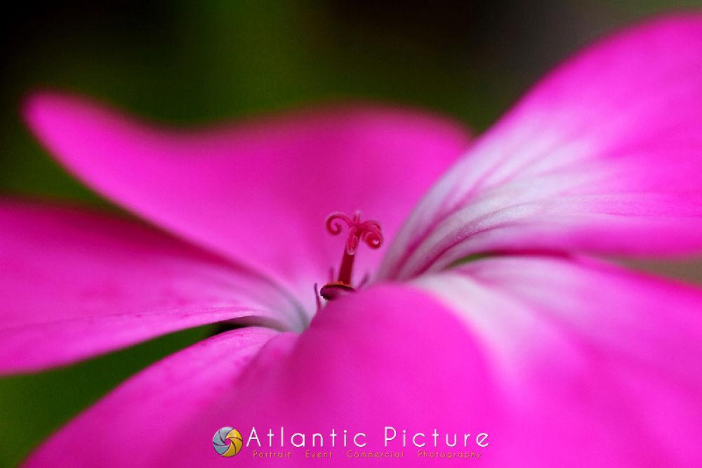 Purple by AtlanticPicture