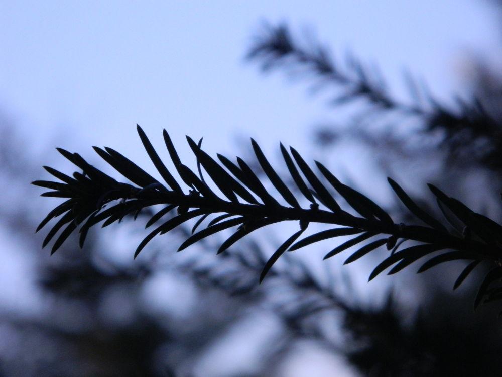 fir needles by Vlad Preutu