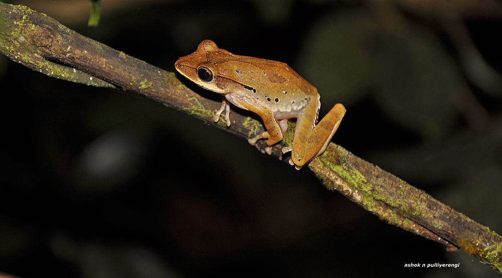Rainforest frog  by Ashok n Pulliyerengi