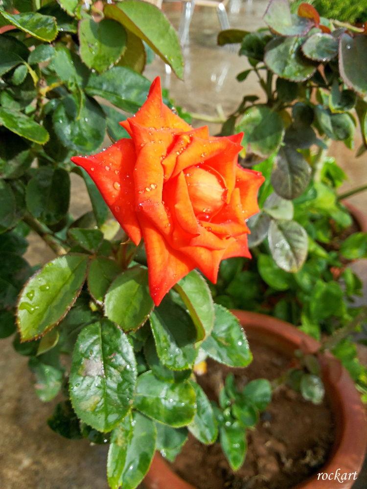 Rose-11 by rockart