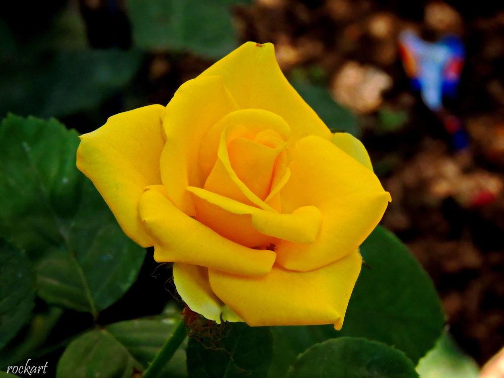 Rose-23 by rockart
