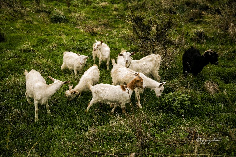 Goats - Keçiler by İbrahim YILDIZ