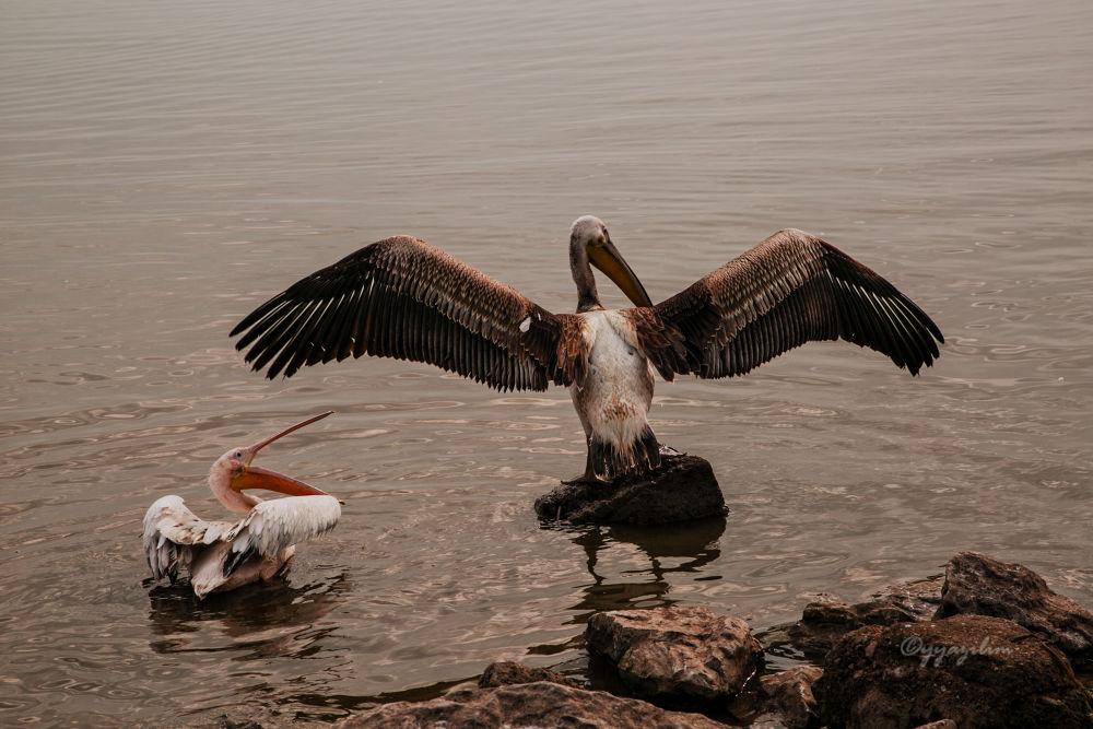 Photo in Animal #yyazilim #ibrahim yıldız #i̇brahim yildiz #kuş #pelikan #gölge #shade
