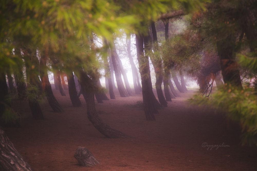 Sisli bir çamlık by İbrahim YILDIZ