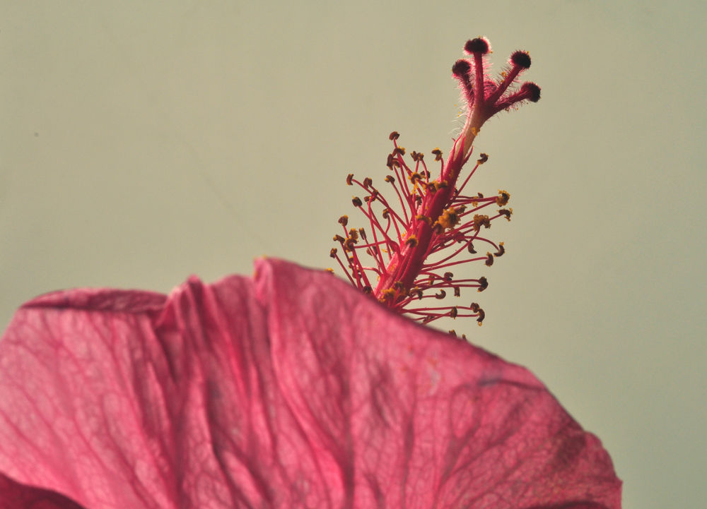 ROSA OF THE CHINA stamens and pistils by VICTORDEVILLE