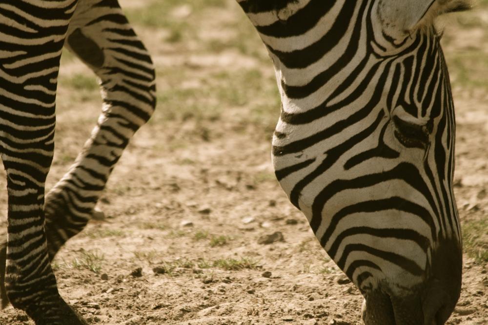 Photo in Nature #zebra #stripes #black #white #stripe #head #sand #ystad #skåne #sweden #scania #tomasz #wysocki #tomasz wysocki #eating #portrait