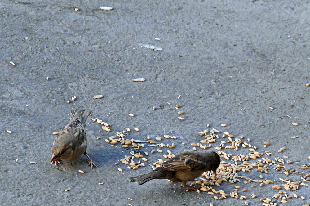 Banquet Sparrows  ضیافت گنجشکها by Aahmad Hezavei