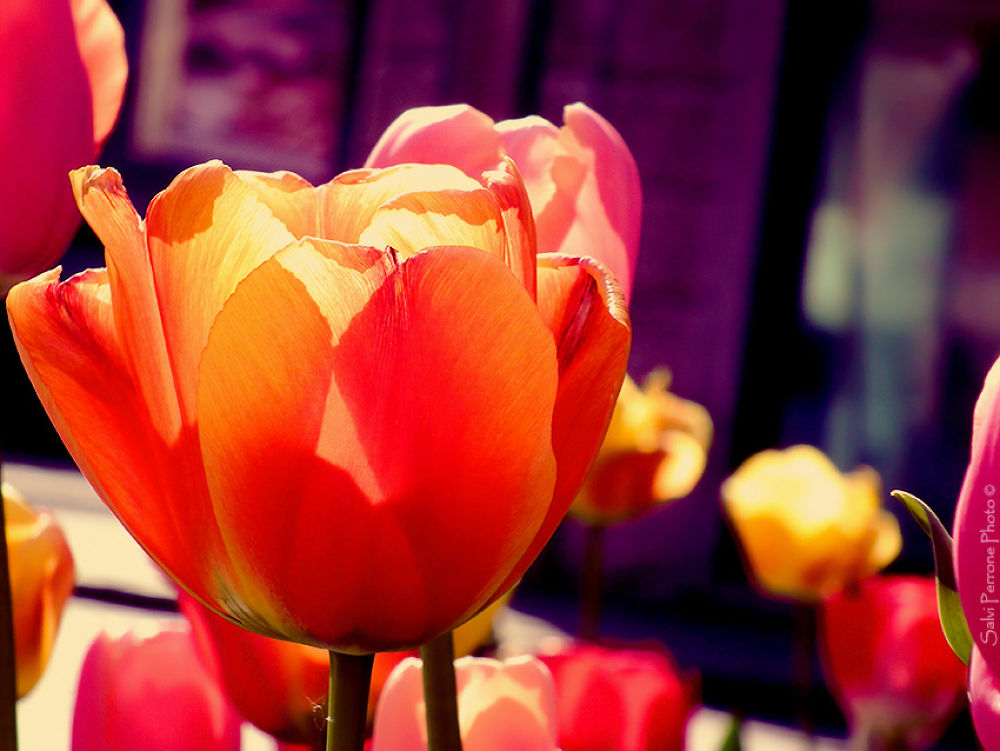 Tulipans-aprile-2013-photo-di-Salvi-Perrone.jpg by SalviPerrone