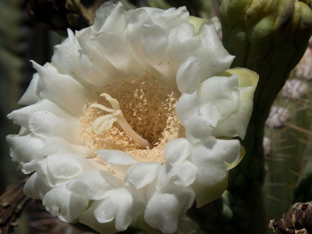Saguaro Flower by David Scott Moyer
