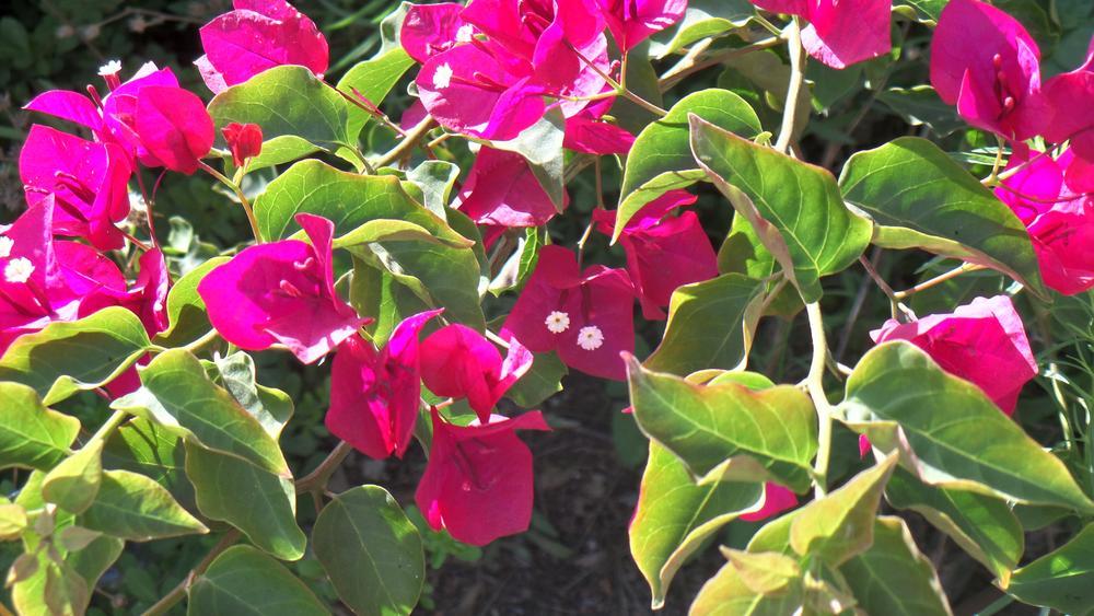 PINK FLOWERSisrae;l123455 by Francine Waterman