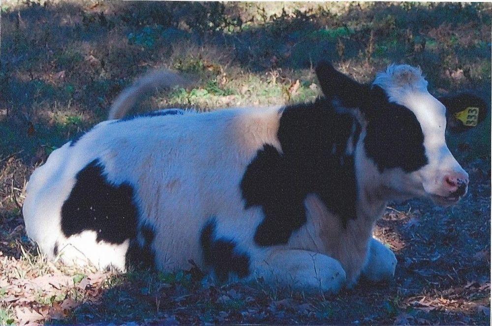 Cow.jpg by lynnsnow58