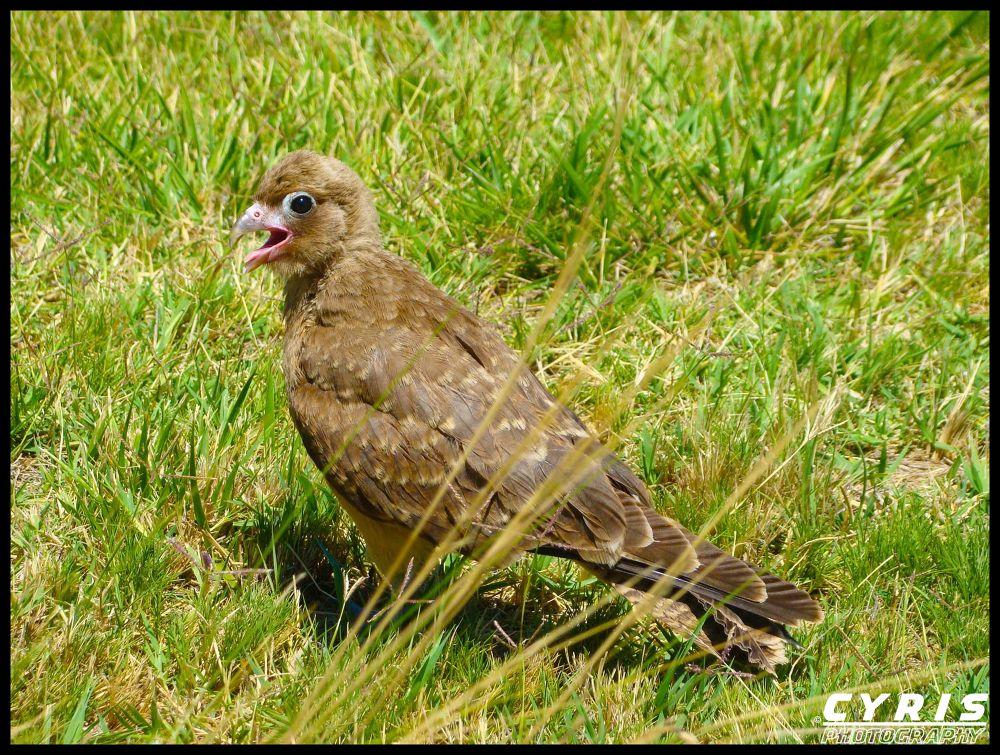 Photo in Animal #animal #ave #pichn #beb