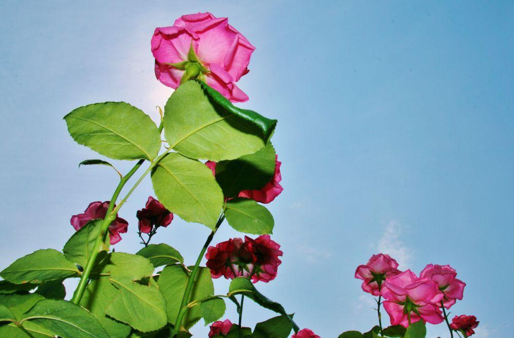 Blooming roses toward the blue sky by Hisashi.Nagahiro