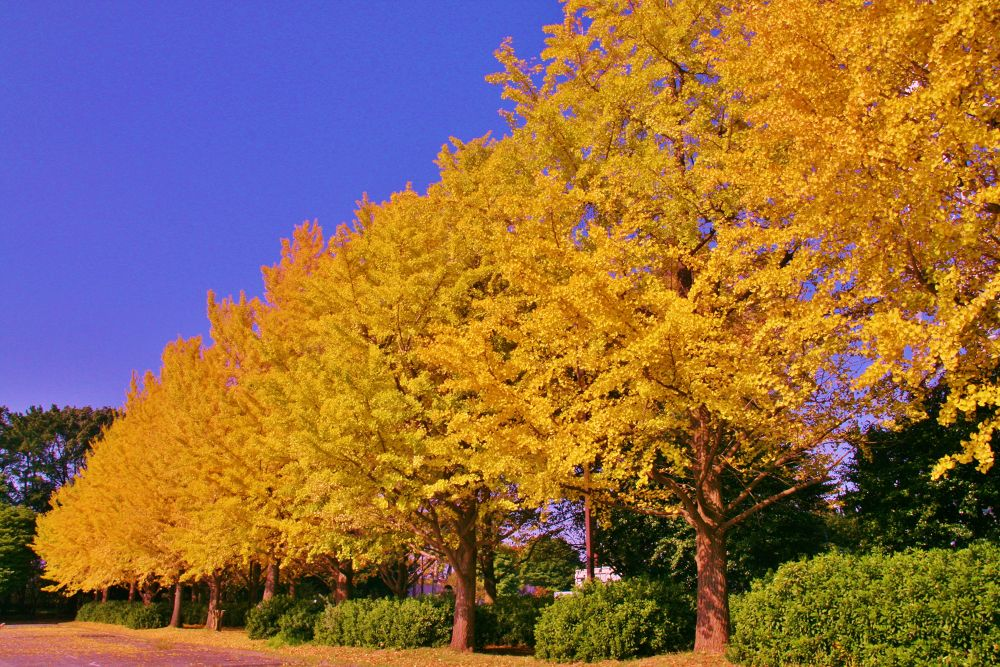 Yellow leaves of the ginkgo tree-lined by Thomas Skywalker