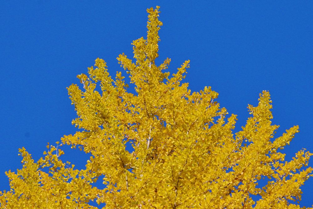 Blue sky and yellow leaves of ginkgo by Thomas Skywalker