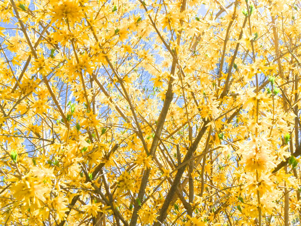 Photo in Nature #yellow flowers #flowers #spring