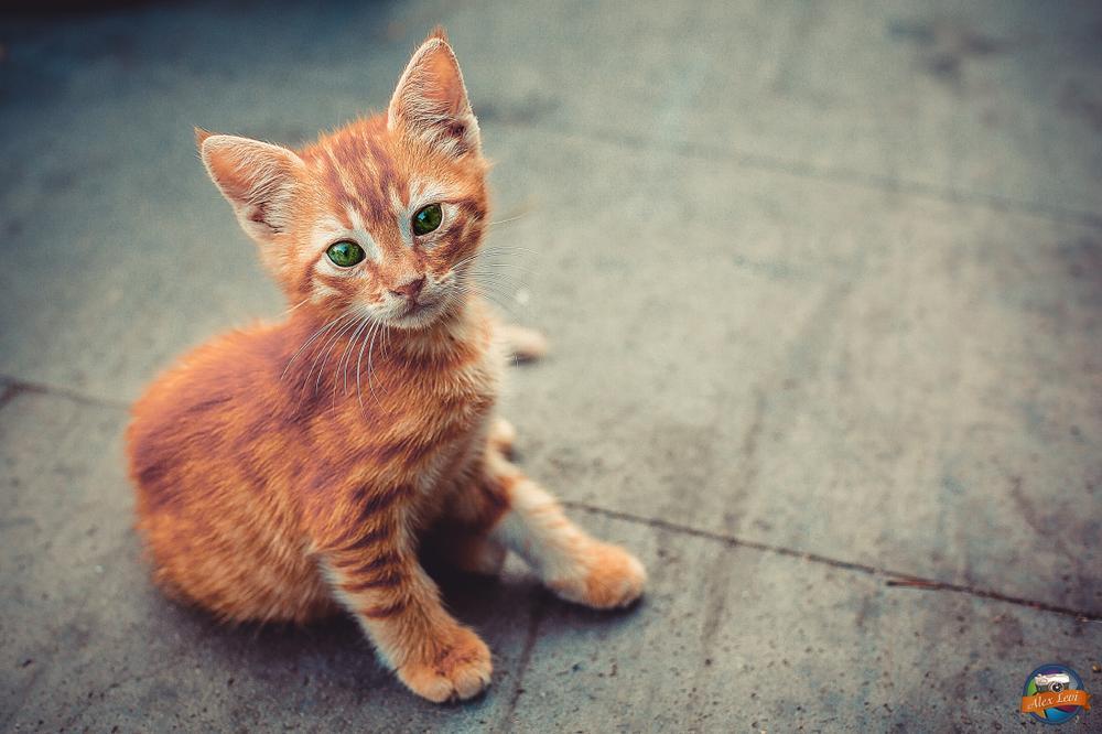 Photo in Animal #cat #animal #ginger #red #alex levi #eyes
