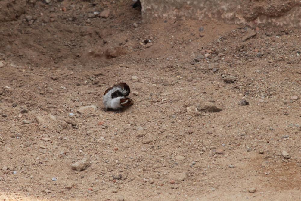 Sparrow : Sand Bath by Roy Antony Arnold