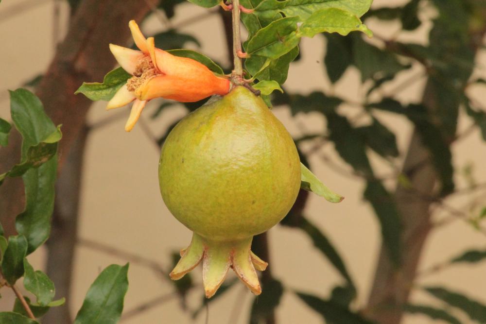Pomegranate 2 by Roy Antony Arnold