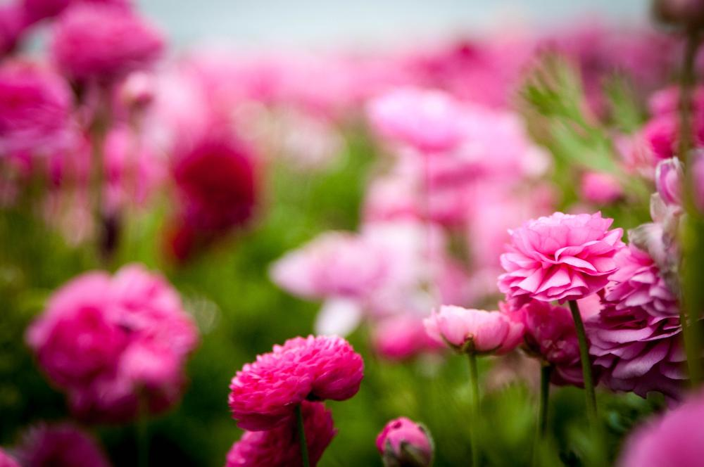 Photo in Nature #carlsbad #carlsbad flower fields #flowers #flower fields #fields of flowers #pink flowers #pink #individual