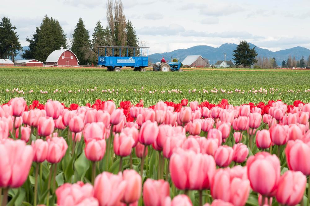 Photo in Landscape #tulip #tulips #tulip fields #fields of tulips #pink #pink flowers #pink tulips #tractor #red barn #barn #washington state #washington #washington tulip fields #washington tulips #fields of color #tulip town