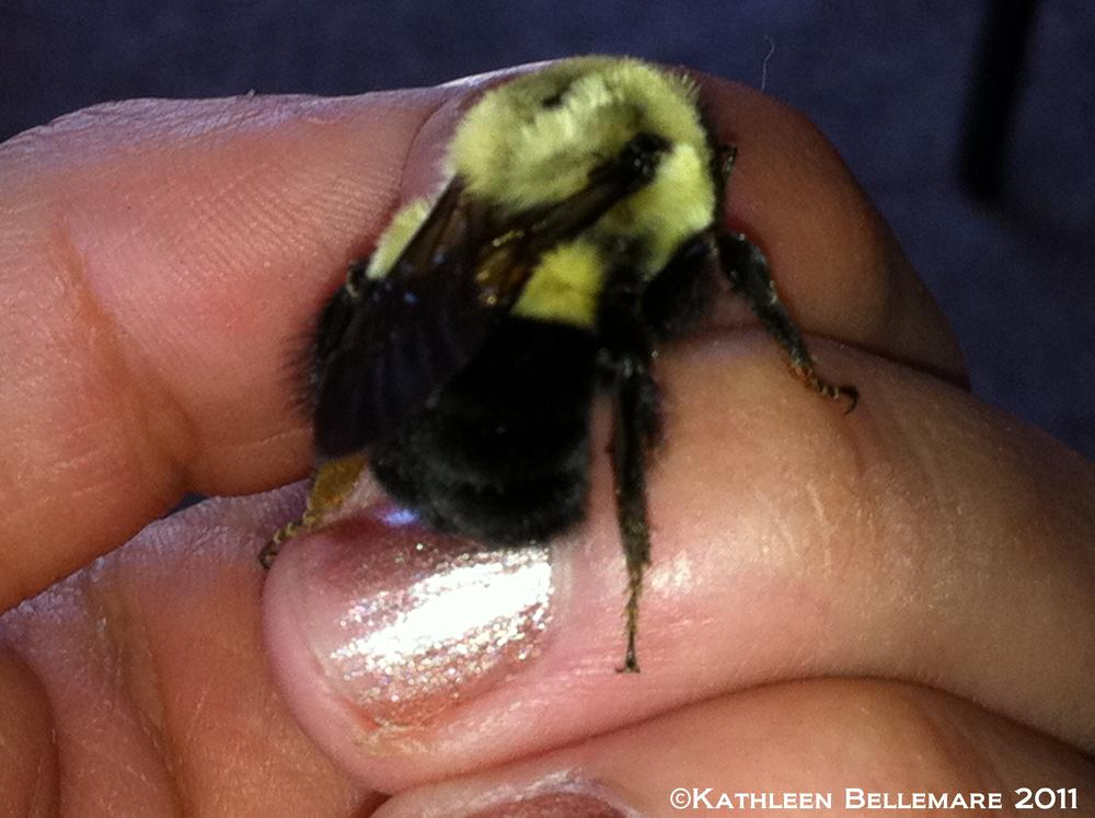 Photo in Animal #bourdon #bumble bee #bee #abeille #cell phone camera #cell phone picture