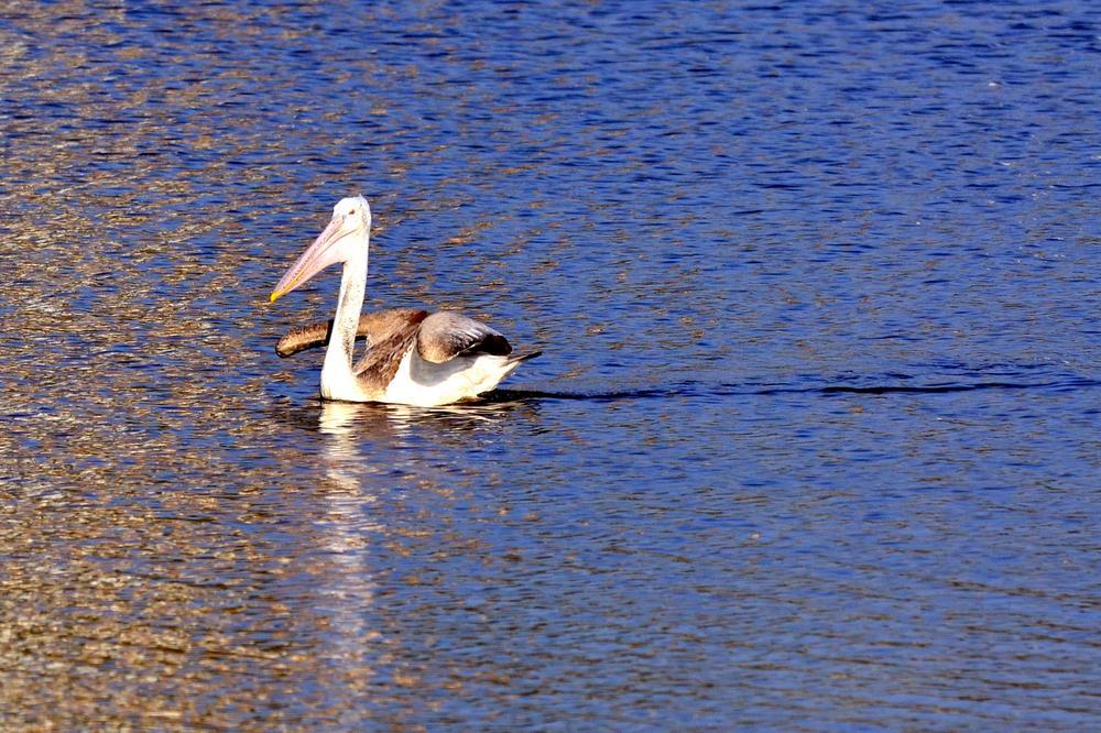 Pelican in Golden Waters... by sriramshankars