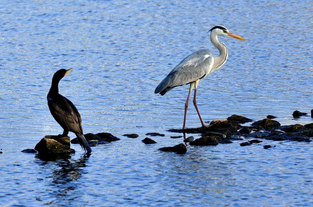 Cormorant admiring the majestic Grey Heron... by sriramshankars