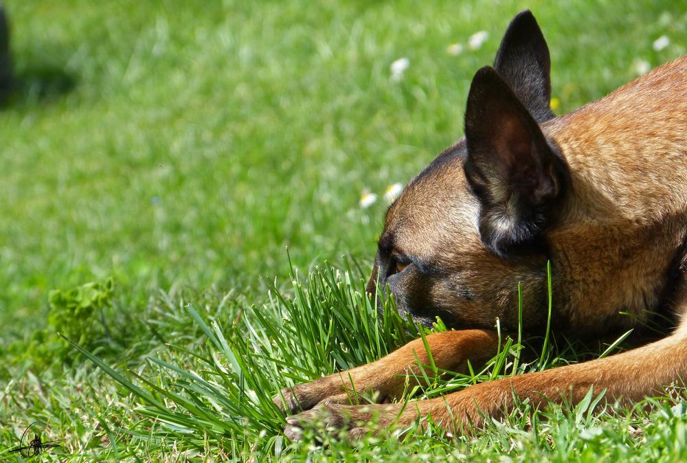 Photo in Animal #chien #dog #malinois #berger belge #auvergne #animal