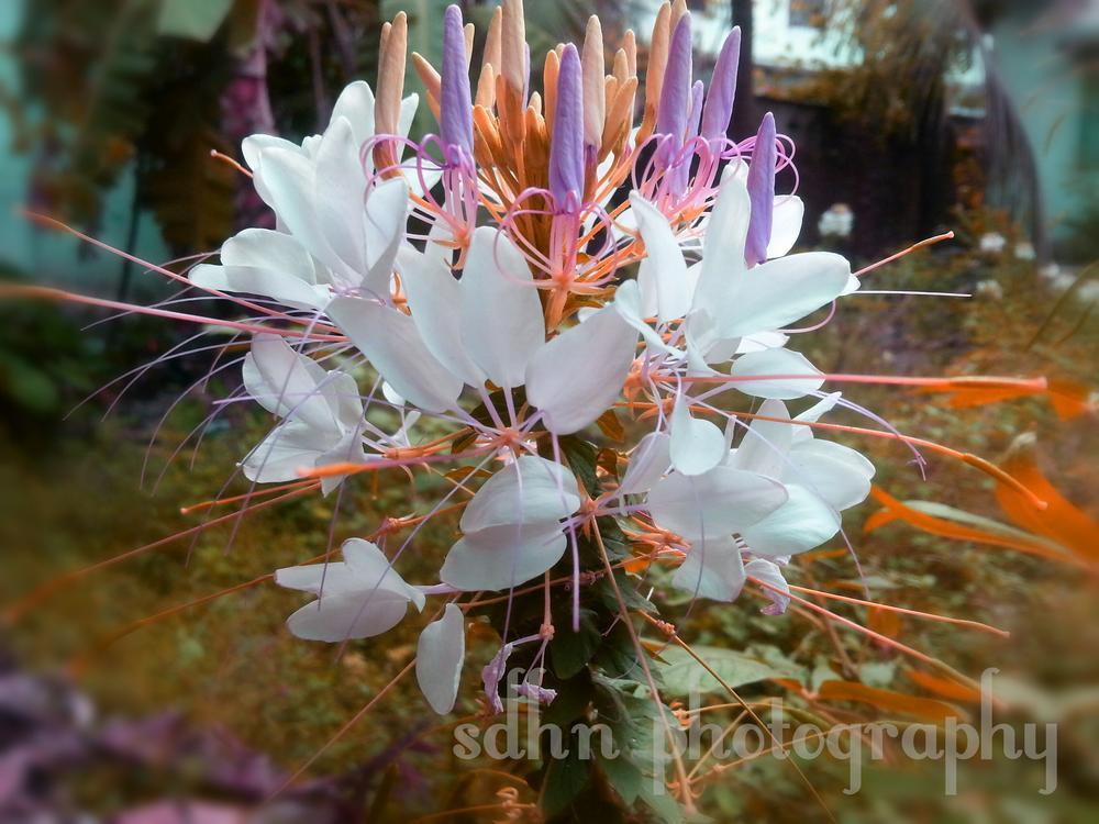 flower... by Šd Hñ
